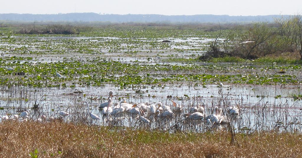White pelicans at Paynes Prairie