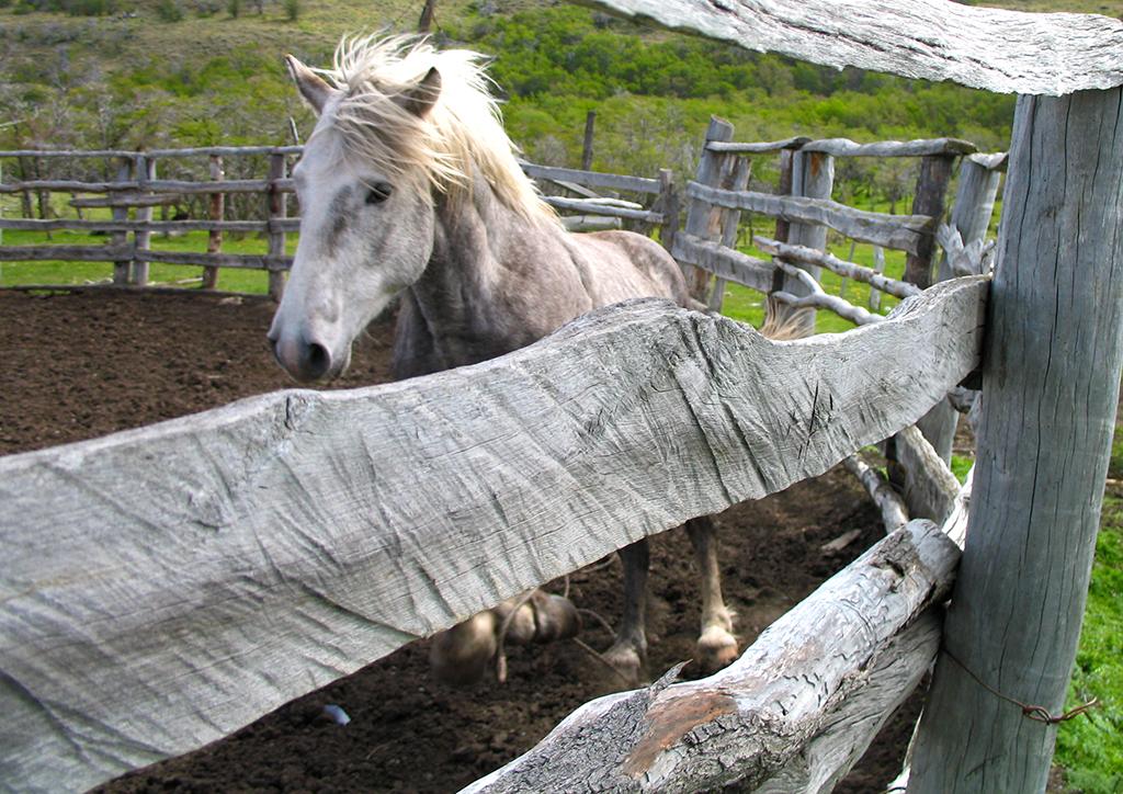 Wild stallion, Chile