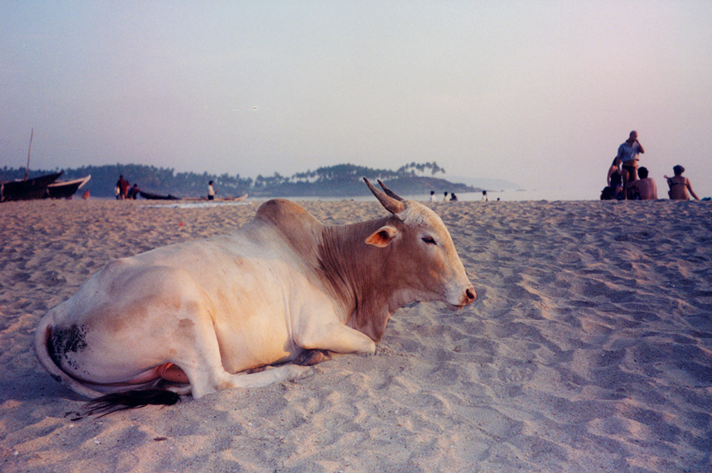 Sacred cow, Goa